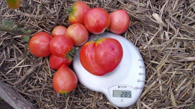 Разноразмерные плоды томата Бычье сердце