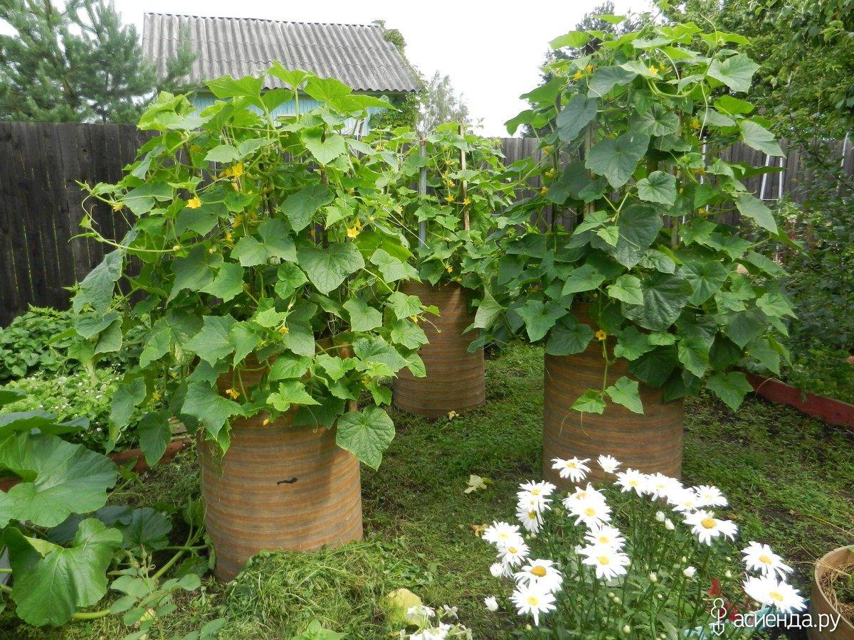 Способы посадки и выращивания огурца в 5 литровых бутылках в бочках