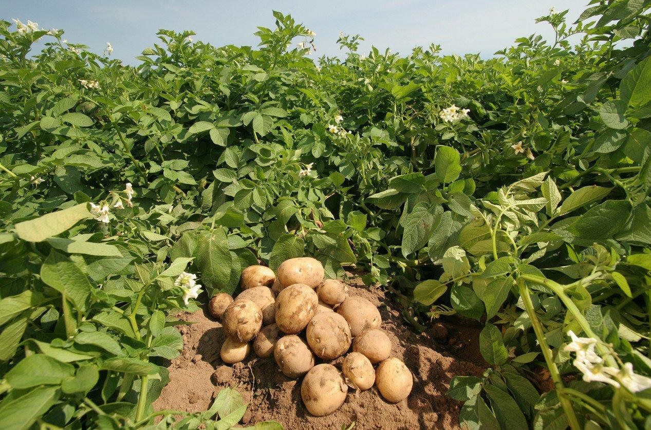 Когда надо сажать картошку