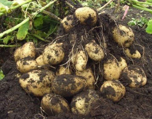 Урожайный куст картофеля