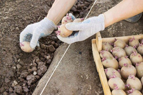 Высадка картофеля вручную