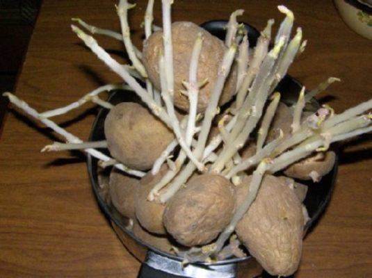 Картофелины с длинными ростками