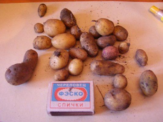 Первый урожай картофеля из семян