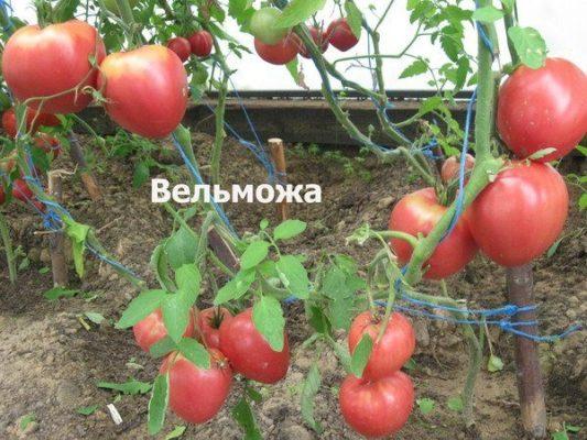 Куст томата Вельможа