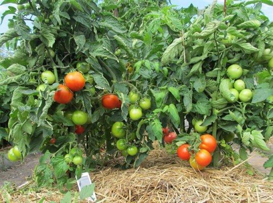 Плоды томатов Яблонька России на кусте