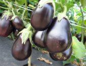 баклажан сорта Чёрный красавец