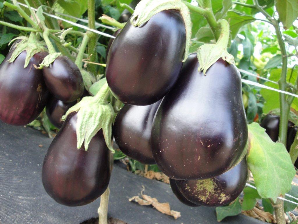 Уникальный сорт баклажана Черный красавец