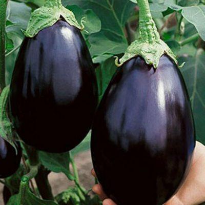 Плоды баклажана Чёрный красавец