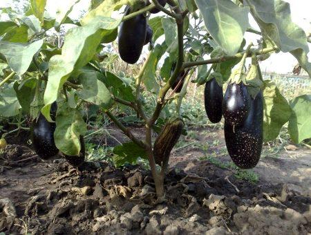 Плоды баклажана на кусте