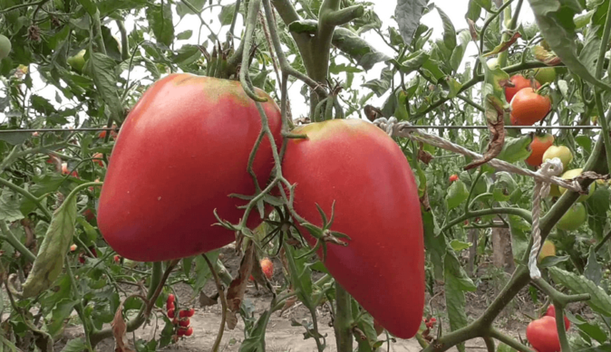 Плоды Чуда земли на ветке