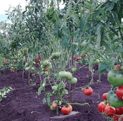 Расстояние между томатами