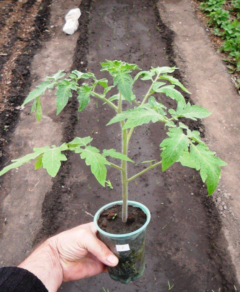 Как вырастить розу через картошку фото