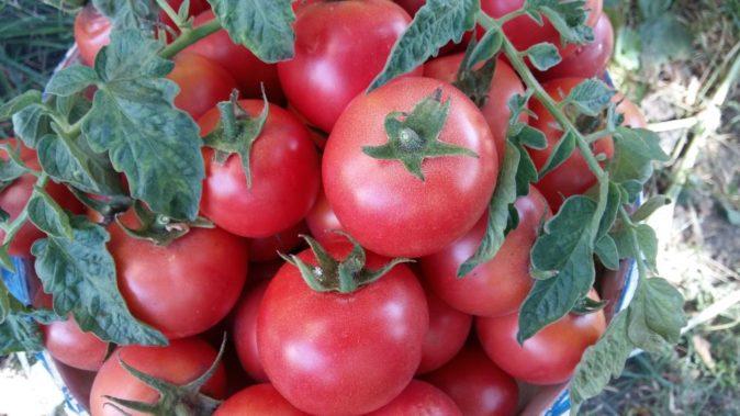 Плоды томата Ляна розовая