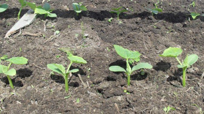 Сеянцы огурцов на грядке в открытом грунте