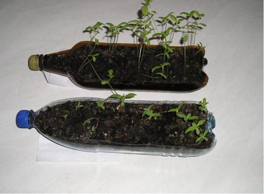 Выращивание рассады в бутылке