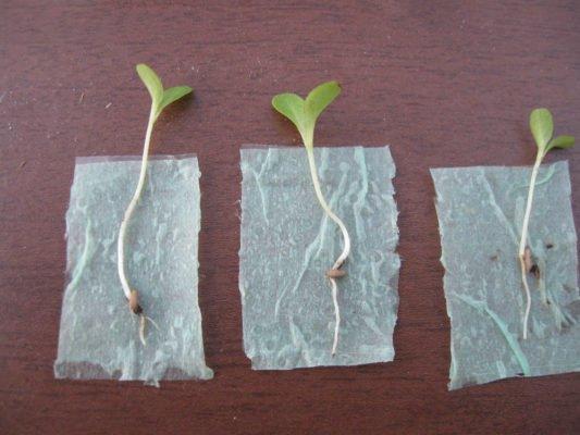 Сеянцы на бумаге