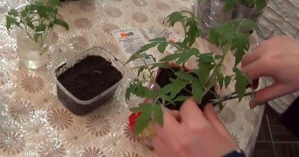 Как срезать рассаду