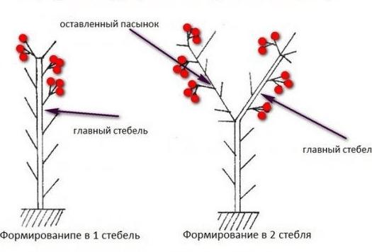 Схема формирования высокорослых сортов томатов