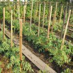 Подвязывание томатов к кольям