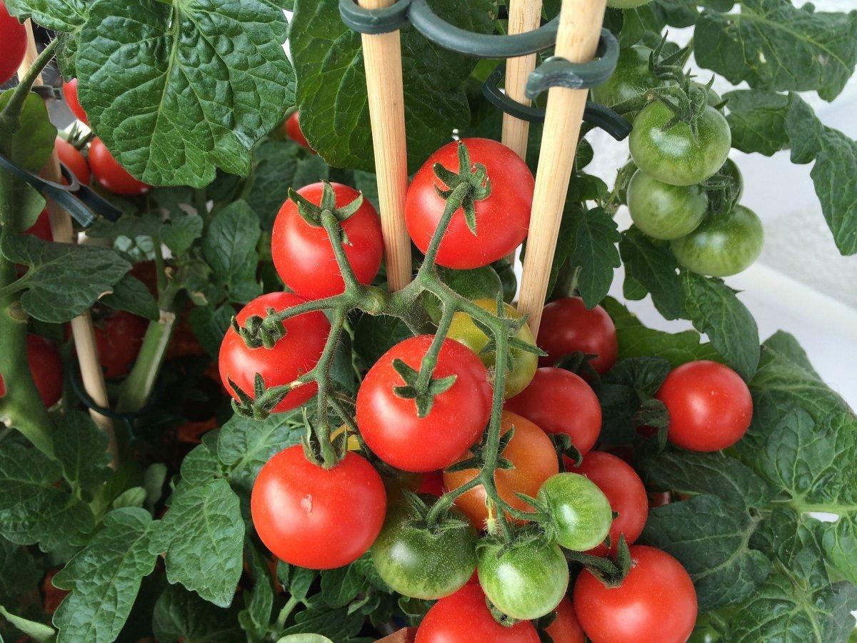 Выращивание томатов на Урале в открытом грунте и в теплице, когда садить помидоры, сроки посадки на рассаду