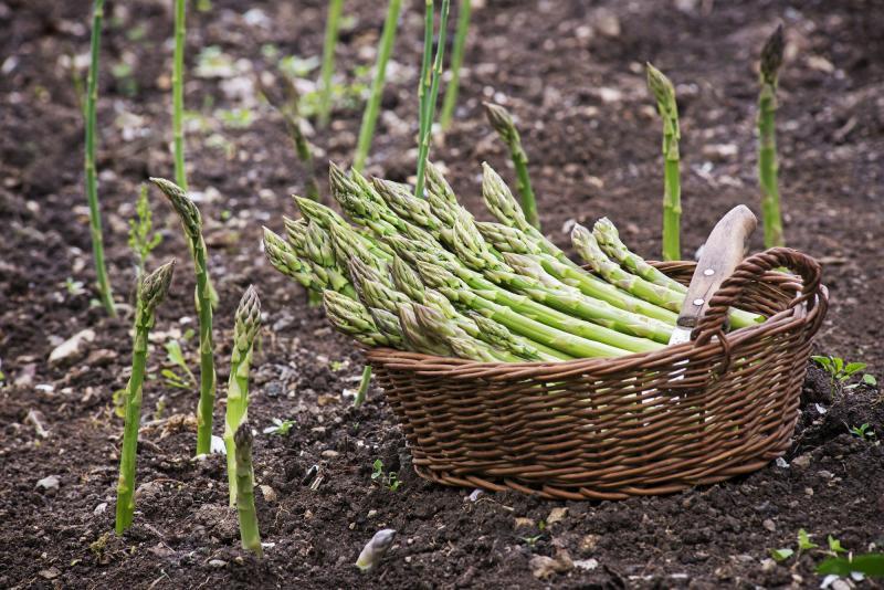 Как растет спаржа на еду