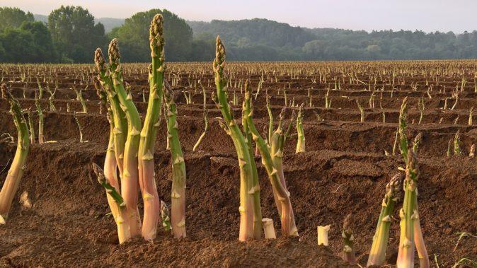 Спаржевая плантация