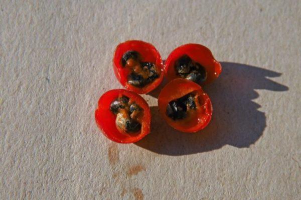 Семена спаржи