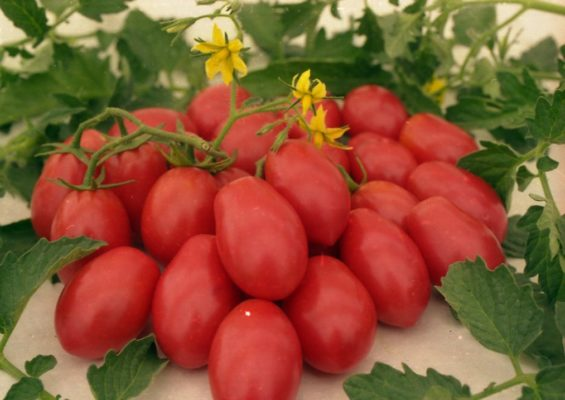 Гроздь томата Чио-Чио-сан