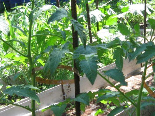 Подвязывание кустов томатов