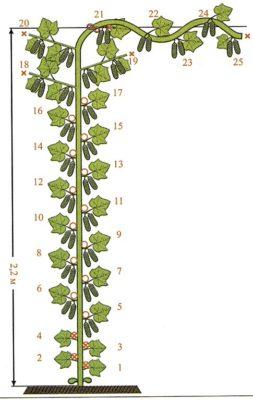 Схема формирования гибридного сорта