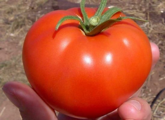 Плод томата Бобкат