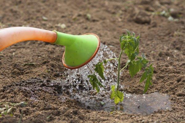 Полив при высадке рассады томатов