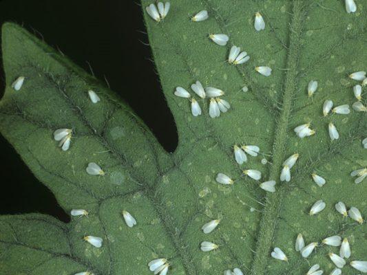 Белокрылка на листе томата