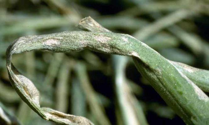 Пероноспороз лука