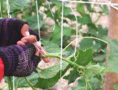 подвязка огурцов в грунте