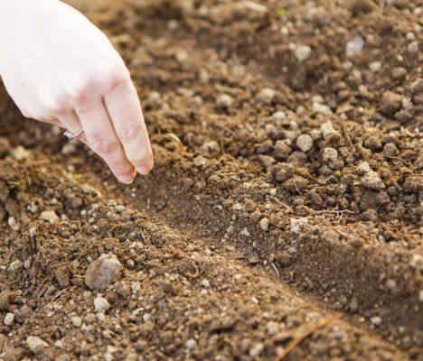 Посадка капусты семенами в грунт
