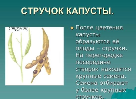 Стручки капусты