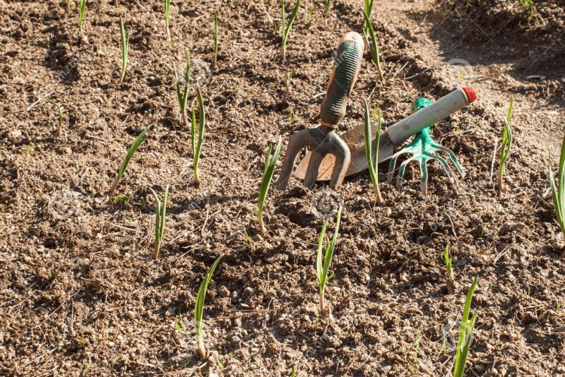 Особенности выращивания и ухода за чесноком