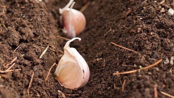 Высадка чеснока в открытый грунт