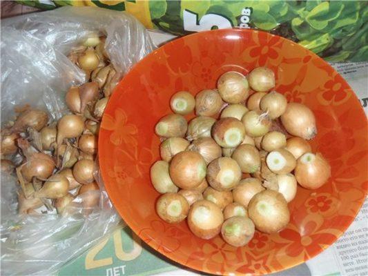 Обрезанные луковицы перед высадкой