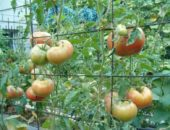 Наливаются помидоры