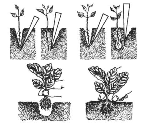 Пикировка капусты по шагам