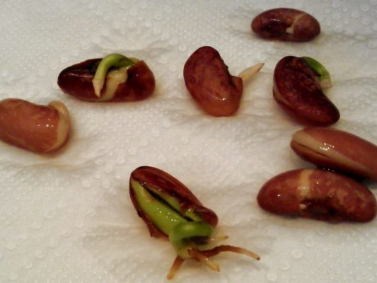 Пророщенные семена фасоли