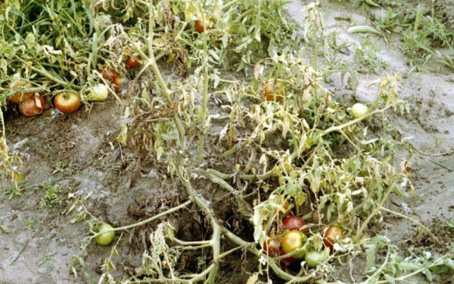 Фузариозное увядание томатов