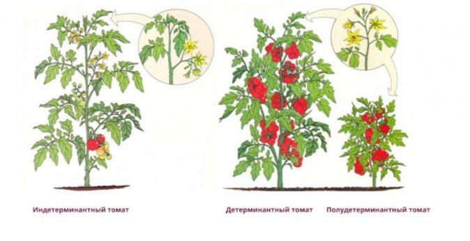 Куст детерминантных томатов