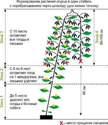 Формирование индетерминантных огурцов