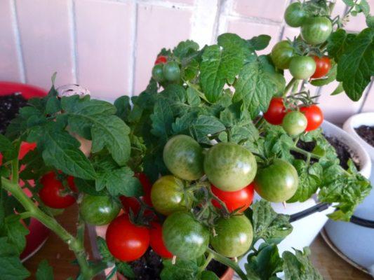 Плодоносящий куст томатов Пиноккио