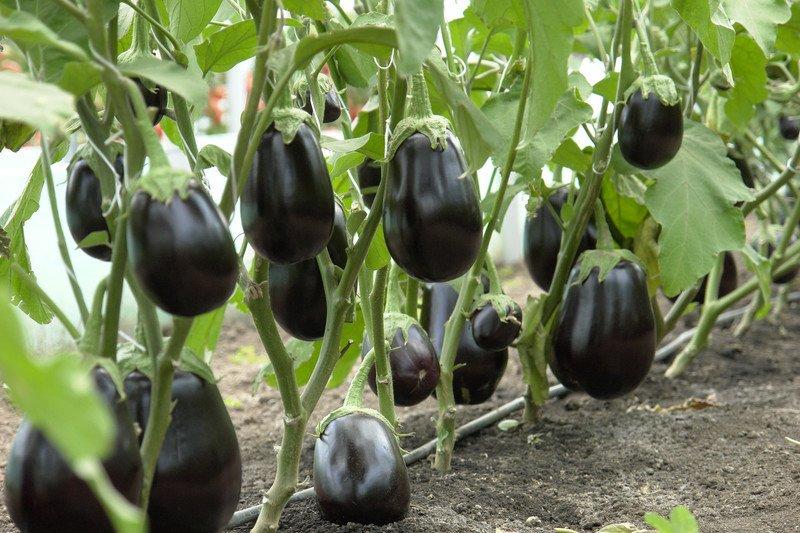 Описание сорта баклажана Клоринда его характеристика и урожайность