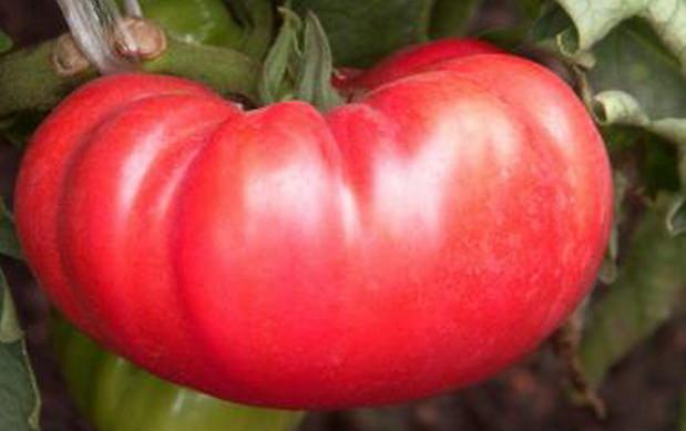 Подвязка плодов