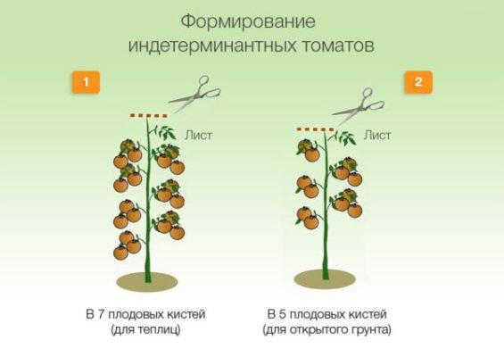 Схема формирования томатов индетерминантного типа